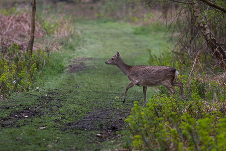 A Sika deer walking across a path in the woods