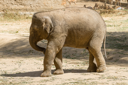 A young Asian Elephant playing in the sunshine 스톡 콘텐츠
