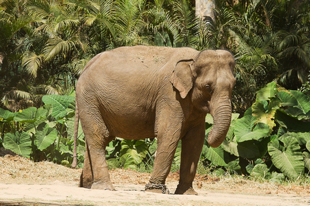 Photo of a Asian Elephant standing in the sunshine on a hot Indian day.