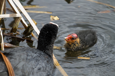 Photo of a mother Coot feeding one of her chicks