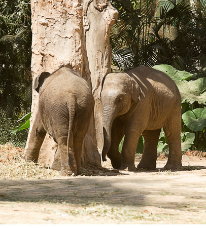Photo of a pair of juvenile Asian elephants playing around a tree