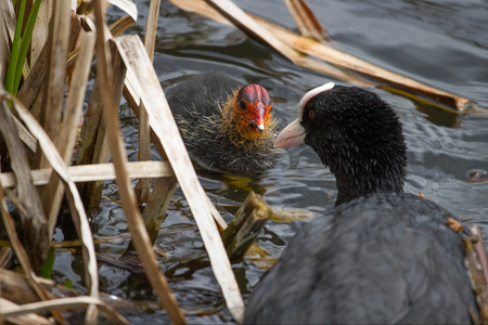 photo of an adult Coot feeding a chick