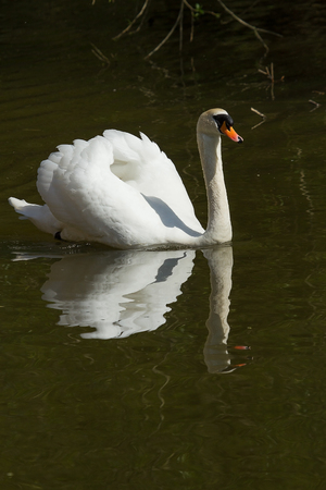 photo of a Male Mute swan swimming with reflections in the water