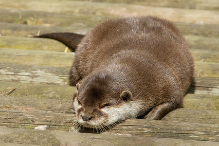 A sleeping short clawed otter