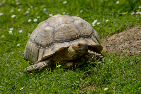 photo of an African Spur-thighed tortoise walking in the grass