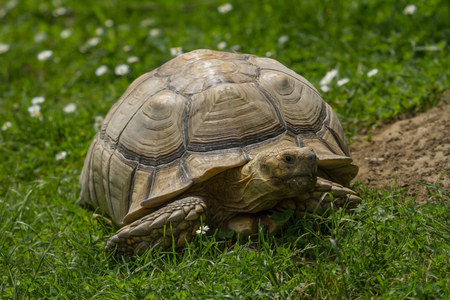 An African Spur-thighed Tortoise walking on grass Stock Photo