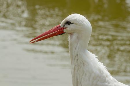 photo portrait of a White Stork 版權商用圖片 - 98445446