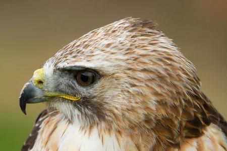photo portrait of a Saker Falcon