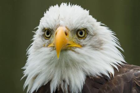 Portrait of a majestic American Bald Eagle