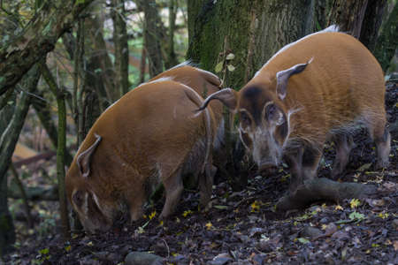 photo of a group of Red River Hogs in a forest Stock Photo