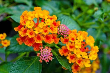 lantana: Red-yellow lantana  flowers