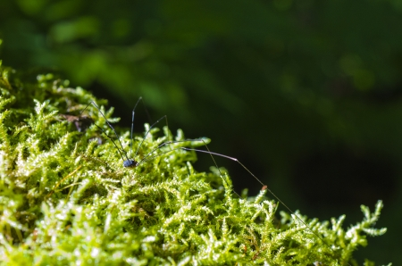 Daddy long-legs spider in forest moss photo