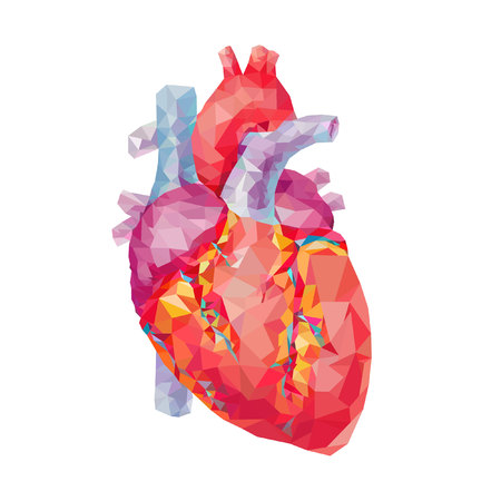 heart valves: human heart. polygonal graphics. vector illustration