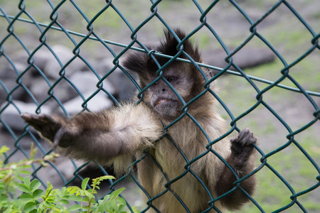 reach out: Little capuchin trying to reach out of its prison.