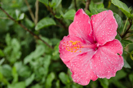 phytology: pink flower after raining