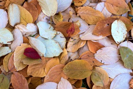 Carpet from autumn leaves Stock Photo - 2441685