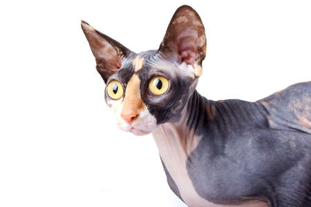 The Canadian sphynx. light background photo