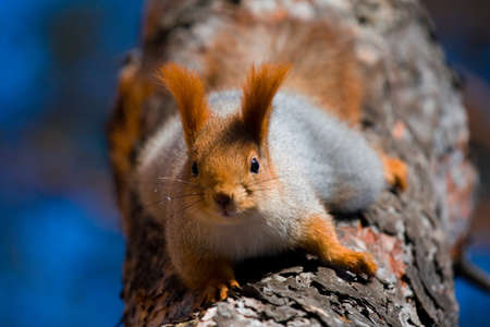 Red squirrel highly on a tree photo