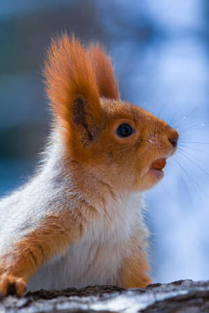 Red squirrel highly on a tree
