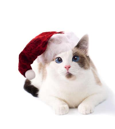 Blue eyed domestic cat Stock Photo
