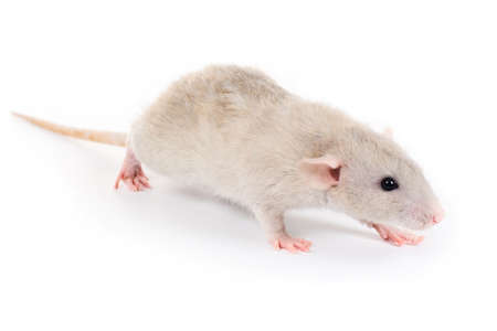 a little decorative rat isolated on white background photo