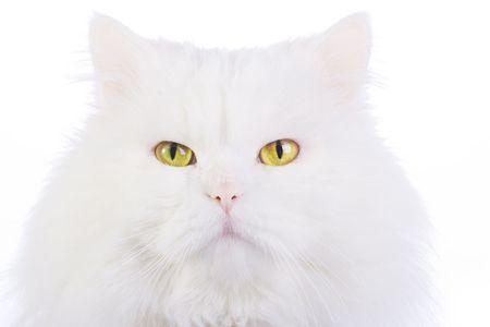 Amusing white fluffy cat