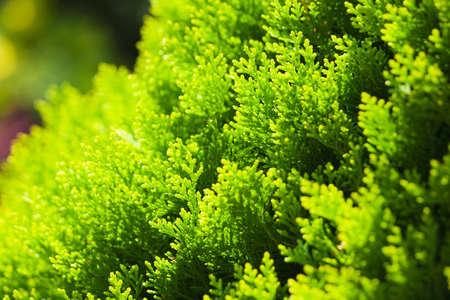 Bright green shrub cypress. Macro.