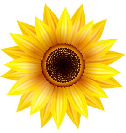 Sunflower illustration on a white background. Illustration