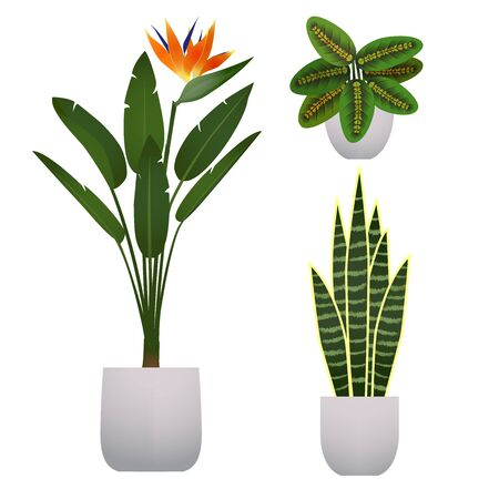 Set of houseplant. Arrowroot, bird of paradise flower and bowstring hemp. Maranta, strelitzia and sansevieria. Flat cartoon vector illustration isolated on a white background.