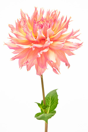 Dahlia, elegant, orange, yellow and pink colored, with green stem, studio shooting, depth of field on white background photo