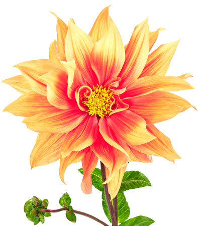 Dahlia, orange, yellow colored flower with green stem and bud on white background photo