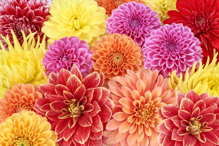 beauty shop: Different types of dahlias. Colorful floral summer, spring background. Flower meadow in blossom, wallpaper. For flower shops, parks, gardens. Close up Stock Photo