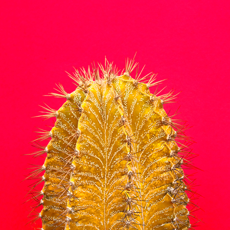 Cactus Yellow. Art Gallery Fashion Design. Minimal Stillife. Concept on Pink background. Detail