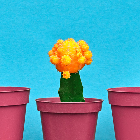 Yellow Cactus. Minimal Stillife. Art Gallery Fashion Design. Concept on Blue background. Creative Style. Detail Zdjęcie Seryjne