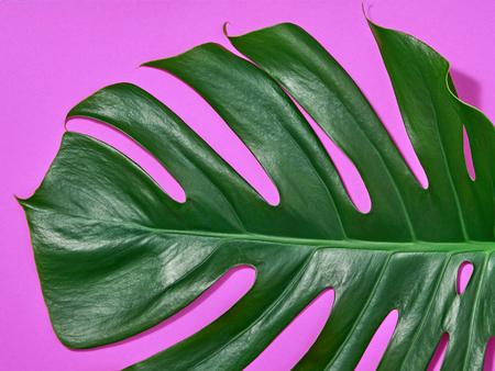 Tropikalny świeży liść palmowy. Zielony letni projekt. Art Bright Summer Pink Color. Natura plaża opuszcza tło. Minimalny. Szczegół