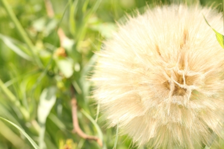Extreme macro shot of fluffy dandelion seeds as a background photo