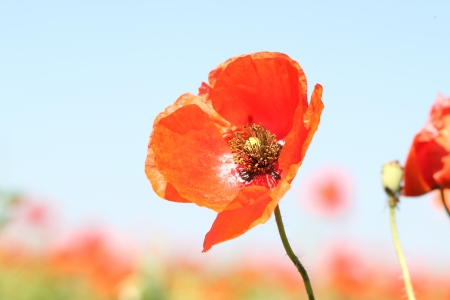red poppy on a background of sky and poppies photo