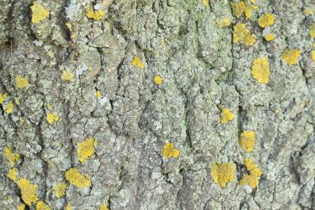 Yellow mold on the tree bark  Texture  photo