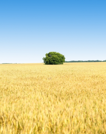 Golden wheat field, tree and blue sky