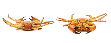 Two seafood red crabs isolated on a white background photo
