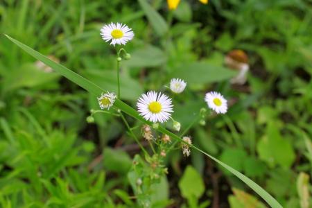 White flower chamomile roman
