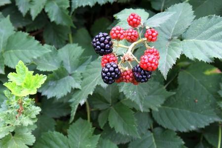 brambleberry: Moras maduras en el �rbol. Close up. Foto de archivo