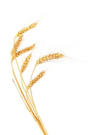 Spighe di grano. Isolato su uno sfondo bianco.