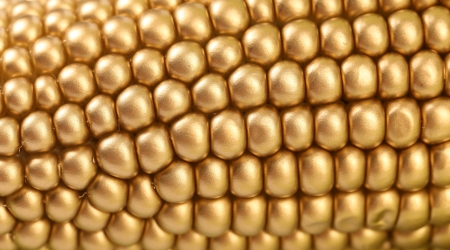 Background of golden corbcob. Macro. Whole background. photo