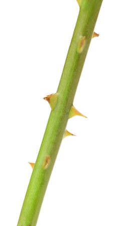 The stem of a rose with thorns. White background.