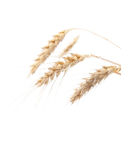 Four ears of wheat on a white background photo