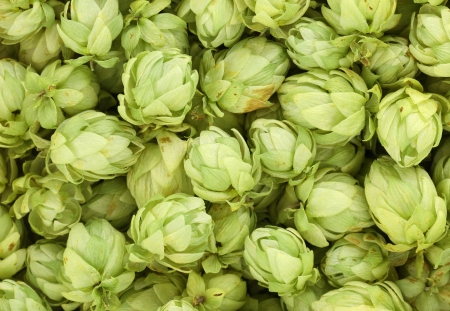 Close up of hop flowers. Whole background. photo
