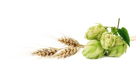 Close up of hop flowers and wheal ear. Isolated on a white background. photo