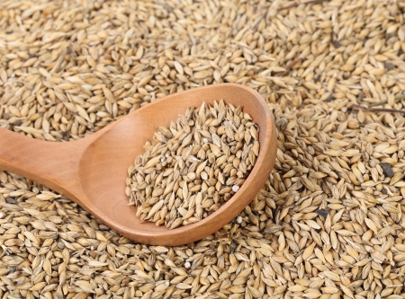 malted: Closeup of wheat grains with wood spoon. Whole background.