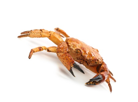 Red crab close up. Isolated on a white background photo